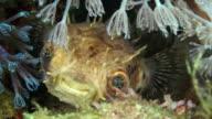 Fugu under water in Philippines