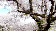 Full blooming of aged cherry tree. 1080p.