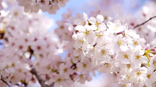Full blooming of cherry flowers in a sunny spring day