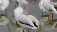 Full Frame View of a White Pelican Preening
