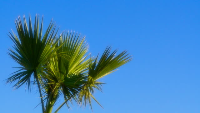 Full HD Palm Frond - Seamlessly Loopable