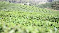 Full HD tea field