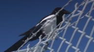 Full shot of a bird taking off from a barbed wire fence