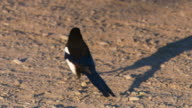 Full shot of a bird walking on the gravel