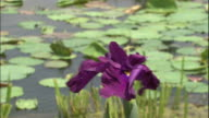 Fumi no Ito is one of the three specie of Japan iris and belongs to the Edo type Its flower petals are pointed expressing coolness favorite...