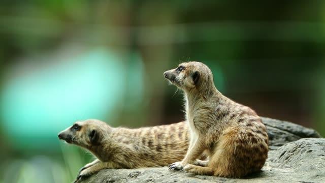 Grappige Meerkat