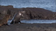 Fur Seal at water's edge joined by pups, Fernandina, Galapagos Islands Available in HD.