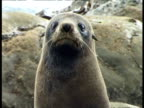 Fur Seal - CU front view, upper half sits looking to camera, rocky coastline background. Anthropomorphic. Non-plussed, guilty.