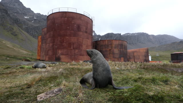Fur Seal in Tussock Grass in front of abandoned Whaling Station, South Georgia