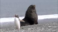 MS Fur seal on sea shore and penguin walking AUDIO / Gold Harbour, South Georgia, Antarctica