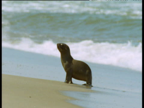 Fur seal pup stands on beach and looks around