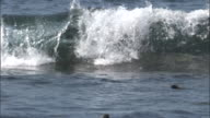 Fur seal surfs in waves, Fernandina, Galapagos Islands Available in HD.