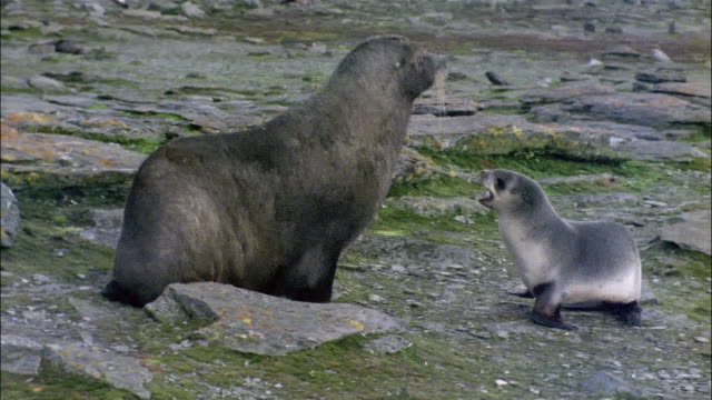 MS, PAN, fur seal with puppy, Signey Island, South Orkneys