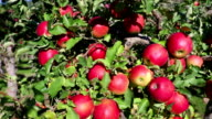 Gala Apple Orchard