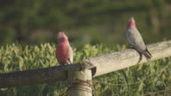 Galah Birds Two pink and grey birds with a white crest sitting on a rustic log fence with greenery in the backgound zoom out to see three galahs /...