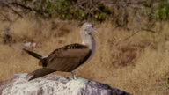 Galapagos Blue-Footed Boobies