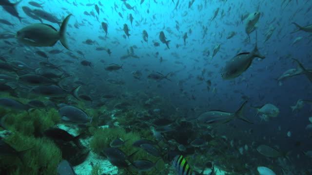 Galapagos DamselFish