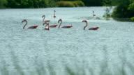 Galapagos Flamingos Swimming