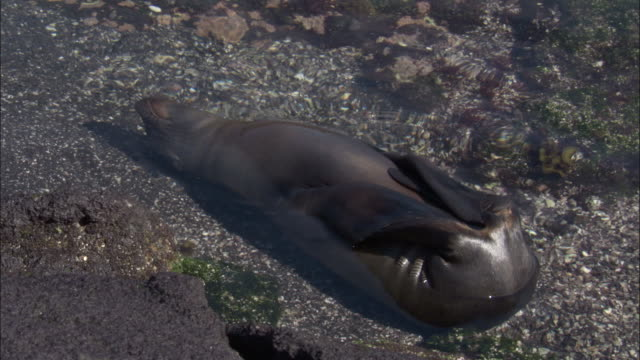 Galapagos fur seal lies on its back semi submerged in the water.