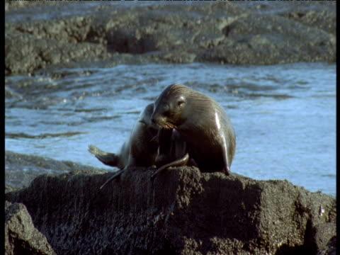 Galapagos fur seal pups play and scratch on rocks, Galapagos Islands