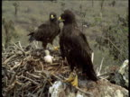 Galapagos hawks at nest with chick, Galapagos