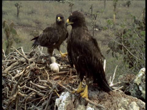 adult films birds prey