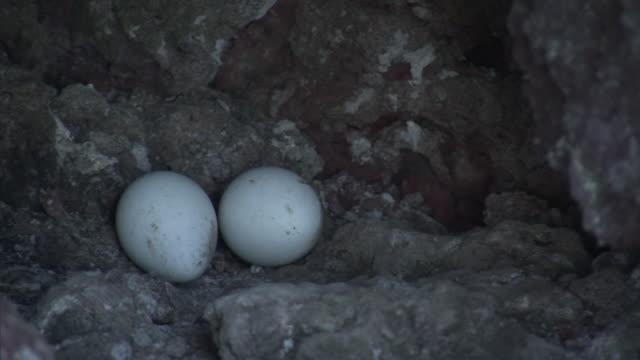 Galapagos penguin (Spheniscus mendiculus) eggs, Galapagos Islands
