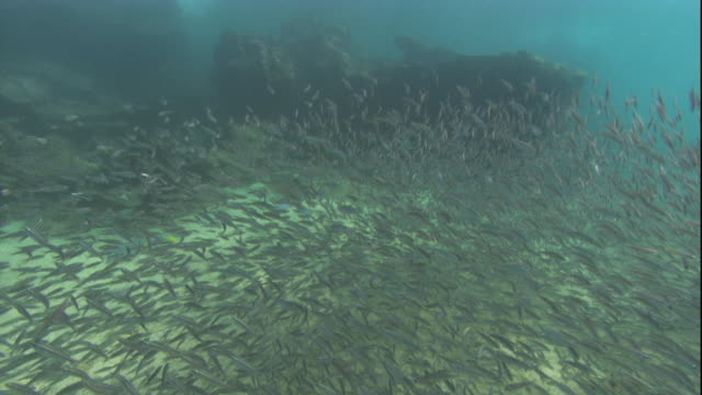 A Galapagos Penguin hunts in a shoal of black-striped salema. Available in HD.