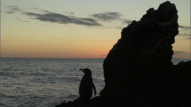 Galapagos penguin (Spheniscus mendiculus) silhouetted at sunrise, Galapagos Islands