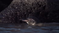 A Galapagos penguin swims near a rocky shore. Available in HD.