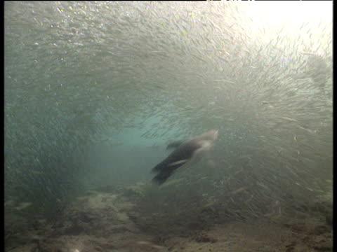 Galapagos penguins attack fish shoal, Galapagos