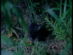 Gambian pouched rat leaves its burrow, Gambia