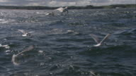MS TU TD ZI POV Gannets flying  low to the water for capturing fish / Bass Rock, Firth of Forth, Scotland