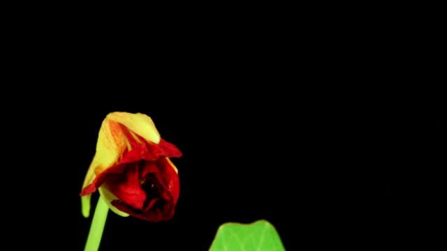 Garden Nasturtium Blooming HD