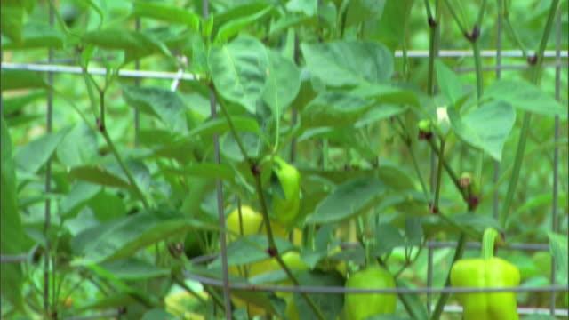 Garden of organic peppers