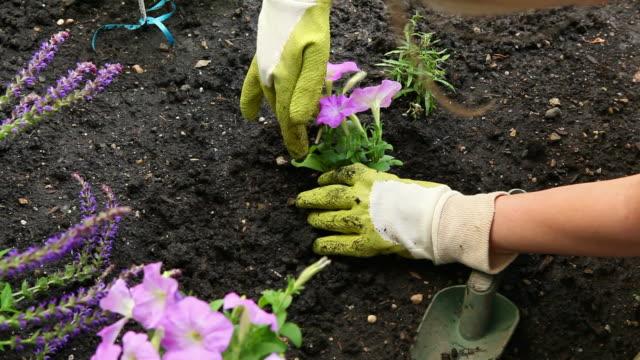 Gardening-planting pink petunia flowers HD 1080p