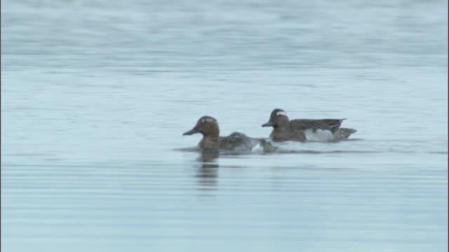 Garganey ducks swim and bathe on lake, Bayanbulak grasslands