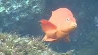 Garibaldi fish (Hypsypops rubicundus) appears from behind rock
