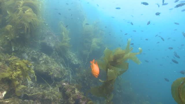 Garibaldi fish (Hypsypops rubicundus) forages in kelp forest, wider