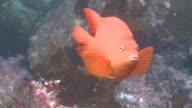 Garibaldi fish (Hypsypops rubicundus) swims in kelp forest