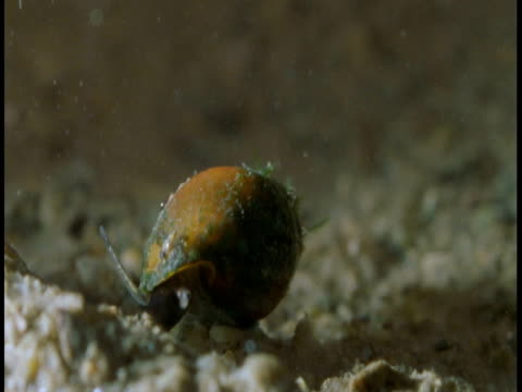 A gastropod moves along a sandy seabed,