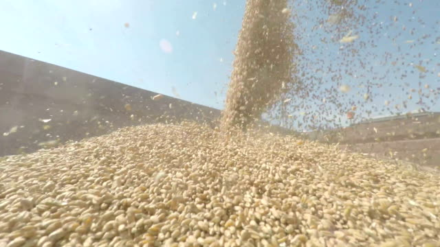 Gathering grain seed