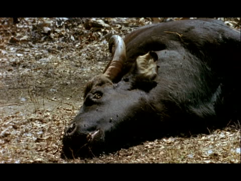 Gaur, Bos frontalis, carcass on ground, Nagarahole National Park, India