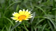 Gazania, Treasure Flower in the Garden