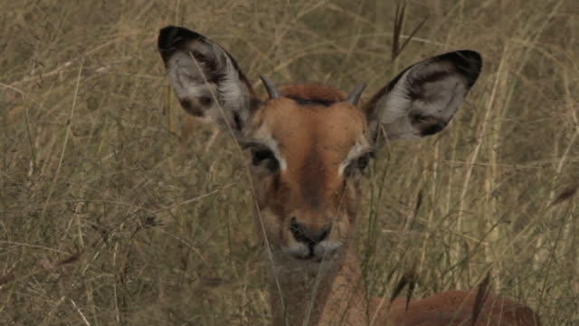 A gazelle chews whilst sitting in long grass before standing up, Tanzania.