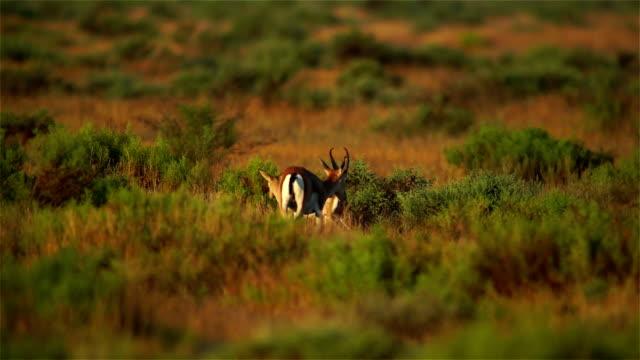 Gazelle Goitered