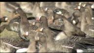 Geese feeding in field, pair take off and land again, Izunuma, Miyagi Prefecture, Japan