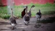 Geese in a barn yard