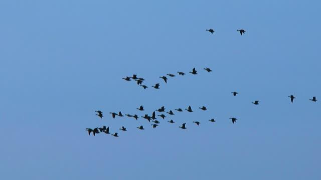 geese in sky