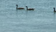 Geese On Lake Michigan on July 30 2013 in Chicago Illinois
